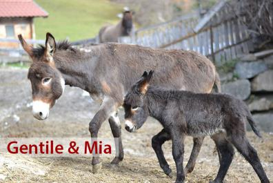 Our donkeys, Gentile & Mia