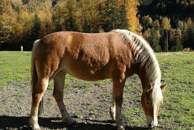 Our Haflinger